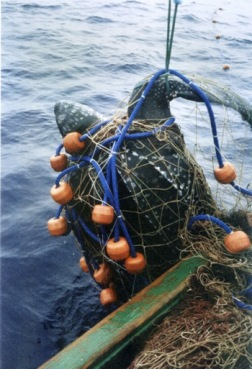 leatherbackbycatch-350