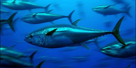 3087_bluefin-tuna_greenpeace