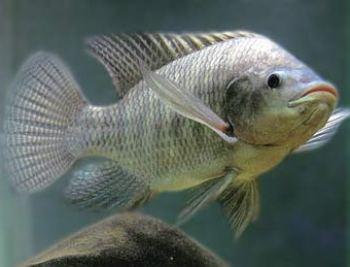 Resultado de imagen para tilapia pesca